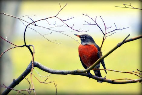 sure-sign-of-spring-robin-bird-1_l